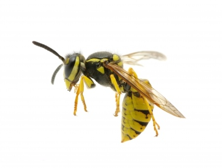 Professional Wasp Removal