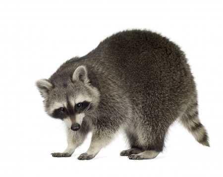 Professional Raccoon Removal