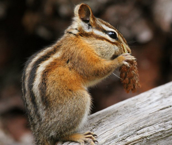 chipmunks-durham-region