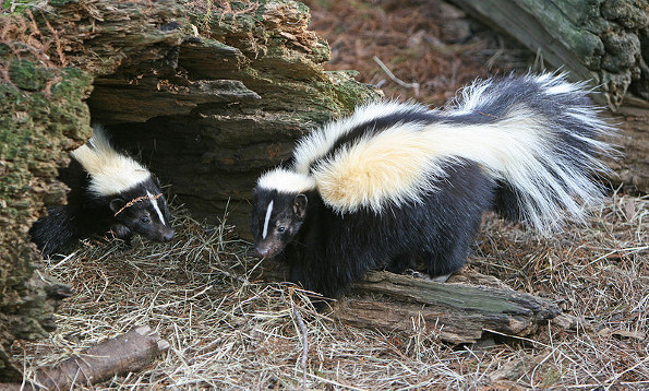 skunk-removal-bowmanville